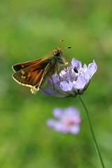 Silver-spotted Skipper on Scabious (raggi di sole) Tags: england astonrowant chilterns nature outdoors silverspottedskipper butterfly insect hesperiidae hesperiacomma orange brown white lepidoptera macro wildflower scabious spotted