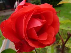 Red Rose ! (Mara 1) Tags: red rose petals bush head bloom