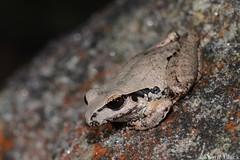 Lesueur's Tree Frog (Litoria lesueuri) (shaneblackfnq) Tags: tree sandstone sydney australia amphibian frog illawarra litoria shaneblack dharawal lesueurs lesueuri