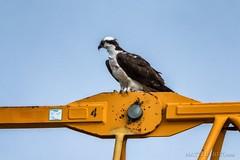 Cranebird (matthucke) Tags: seattle osprey seahawk crane washington bird wildlife