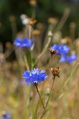 Cornflowers (robertcampbellphotography) Tags: cornflowers capelmanorgardens