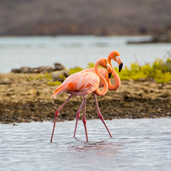 Flamingoes@Williwood 5 (caropho) Tags: jankok curaao birds flamingo wildlife caribbean animal nature canon eos