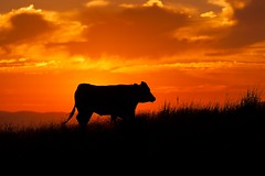 Sunset Cow (leppre) Tags: ireland sunset silhouette cow donegal inishowen buncrana sunsetcow sunsetdonegal sunsetloughswilly