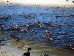 Menorca. Son Bou.2 (joseluisgildela) Tags: menorca sonbou playas patos