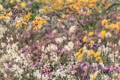 Flora Plenteous 65 (pni) Tags: flower plant petal multiexposure multipleexposure tripleexposure helsinki helsingfors finland suomi pekkanikrus skrubu pni