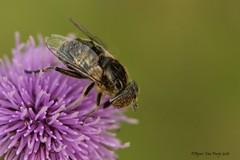 weidevlekoog (Agnes Van Parijs) Tags: weidevlekoog insect zweefvlieg hoverfly schwarzeaugenfleckschwebfliege vlieg