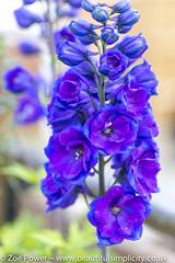 Guardian Blue Delphinium *3* (Zo Power) Tags: flowers summer june purple mygarden delphinium guardianbluedelphinium