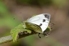 2016-07-23 Copse Wood 004 (Gloomy Moose) Tags: butterfly smallwhite pieridae kleinkoolwitje pierisrapae
