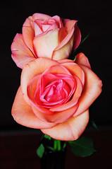 DSC_5526 (PeaTJay) Tags: nikond300s sigma reading lowerearley berkshire macro micro closeups gardens indoors nature flora fauna plants flowers rose roses rosebuds