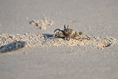 DSC00938 (bene venire) Tags: sea tufted ghost crab