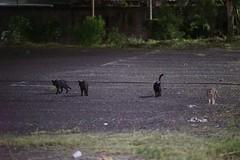DSC05869 (C*A(t)) Tags: cat straycat taiwan taipei taipets sony a7s
