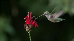 Ruby-throated (Raymond J Barlow) Tags: hummingbird ontario canada wildlife nature bird raymondbarlow birdinflight workshop outdoor garden