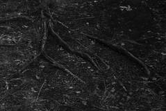 Baumwurzel / tree root (olgi49) Tags: gx7 baumwurzel treeroot schwarzweis sw blackandwhite bw