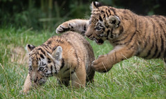 Tiger Cub Fight (gosammy1971) Tags: amurtiger tiger cubs babys welpen zoo natur nature fight kampf grass gras groskatze klein katze cat flickr new august 2016 wildcatworld fantasticnature catfight