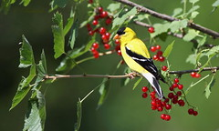*** chardonneret et gadelles rouges /  Goldfinch and redcurrant (ricketdi) Tags: bird cantley chardonneret chardonneretjaune gadelierrouge gadelle redcurrant americangoldfinch gold yellow finch spinustristis red explore02aout2016no7 ngc coth5