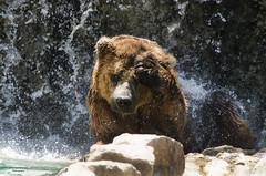 Under Water - Bear (Vanessa Guerreiro Photography) Tags: under water waterfall bear wildlife nikon d7000 vanessa guerreiro photography freeze montion animal brown