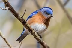The bluebird of happiness is watching!! (danielusescanon) Tags: easternbluebird sialiasialis wild cbec chesapeakebayenvironmentalcenter maryland birdperfect animalplanet