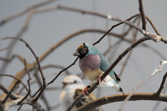 Blue Lady Gouldian Finch (u18b404) Tags: finch blue gouldian