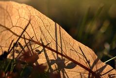 beginnings (joy.jordan) Tags: leaf veins texture light sunset bokeh grass ontheground