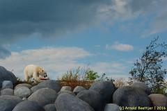 ijsberen_08 (Arnold Beettjer) Tags: wildlands emmen dierenpark dierentuin dierenparkemmen ijsbeer ijsberen polarbear