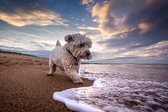 Week 33 - Chasing Waves (f22 Digital Imaging) Tags: westie dog pet animal beach sunset sea coast ocean waves seatonsluice northumberland westhighlandwhiteterrier northeastengland