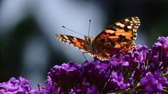 Ein Distelfalter auf Sommerflieder (Harald52) Tags: distelfalter schmetterling insektentiere sommerflieder blte pflanze natur