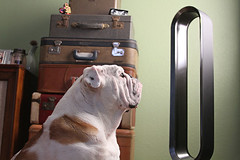 English bulldog looking at tower fan (yourbestdigs) Tags: fan dog electric blow white cooler ears summer one doggy cute funny object lying front humor cool bulldog wind face french home resting looking bull background domestic canine pet animal metal air hot