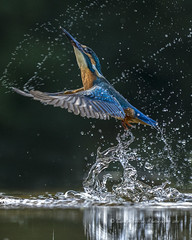 The Dance (1) (pixellesley) Tags: kingfisher bird birdwatching alcedoatthis mammal wild wildlife hide diving water feeding pool fishing droplets spashing sparkle reflection dancing balletic flying male lesleygooding