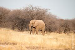 DSC_4354.JPG (manuel.schellenberg) Tags: namibia etosha animal nationalpark elephant