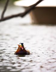 Mandarin duck on the water (Cloudtail the Snow Leopard) Tags: mandarinente zoo karlsruhe tier animal vogel bird wasservogel swim schwimmen wasser water ente mandarin duck aix galericulata