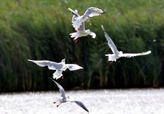 Duelling Gulls. (pstone646) Tags: birds flight nature wildlife animals kent gulls stodmarsh lake fauna
