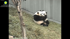 2016_10-01c (gkoo19681) Tags: beibei meixiang treattime yummyfruitcicle bigboyfruitcicle notsharing feetsies stealing togetherness toocute ccncby nationalzoo