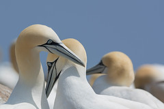 Old Blue Eyes is back.... (Matts__Pics) Tags: gannet colony nesting springtime