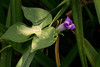IMG_0001 A New Day (oldimageshoppe) Tags: wildflower morningglory coastalblue earlymorningsun summer