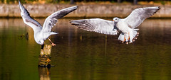 Competing for the post (Steve-h) Tags: nature natura naturaleza birds gulls sun sunlight sunshine aquaticbirds flight action landing flying beaks wings legs post rope water pond lake park bushypark dublin ireland europe autumn fall october 2016 canon camera lens ef eos digital exposure steveh allrightsreserved