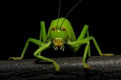 Leaf Katydid (Pseudophyllinae, Tettigoniidae) (John Horstman (itchydogimages, SINOBUG)) Tags: insect macro china yunnan itchydogimages sinobug katydid bush cricket orthoptera tettigoniidae pseudophyllinae trap black green topf25 tweet topf50