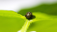 Little Critter (janrek70) Tags: green larvae leaf nature critter little macro photography caterpillar
