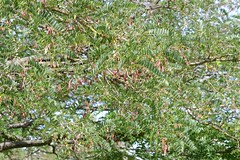 2016-03-04 at 11-54-49 (Mollivan Jon) Tags: newzealand taxonomy:family=fabaceae planttraits avonside christchurchresidentialredzone falseacacia robiniapseudacacia miscellaneouskeywords sullivanpark naturewatchnz cultivated taxonomy:binomial=robiniapseudacacia observationaddedtonaturewatchnz taxonomy:genus=robinia mollivan fruitcolourbrown fruitseeds taxonomy:kingdom=plantae photowithassociateddata canterbury places species earthquakeaftermath southisland fruitcolour taxonomy:common=falseacacia reproduction christchurch tamronspaf90mmf28dimacro11272nii