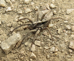 Wolf spider male (Bug Eric) Tags: animals wildlife nature outdoors arachnids arachtober spiders lycosidae araneae male cheyennemountainstatepark colorado frontrange rockymountains usa northamerica march132016