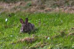 Wild bunny (daledare17) Tags: bunny rabbit wild nature animal