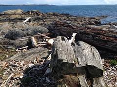 2016 09 19 Cattle Point_0002 (Blake Handley) Tags: blake blamar cattlepoint oakbay victoria bc britishcolumbia vancouverisland canada dogs ocean shoreline beardedcollie beardie