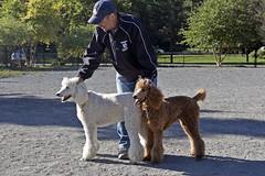 2700 (Jean Arf) Tags: ellison park dogpark rochester ny newyork september autumn fall 2016 poodle dog standardpoodle paul gladys doris