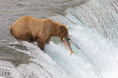 Alaska Brown Bear (Peter Stahl Photography) Tags: brookslodge katmai katmaialaska alaskabrownbear sockeyesalmon sockeye fish waterfalls