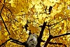 New England Autumn (BlueisCoool) Tags: flickr foto photo image capture picture photography nikon coolpic l330 tree plant serene color colors pretty bright vivid gold golden beautiful leaf leaves foliage autumn fall outdoor outdoors nature massachusetts goldenautumn autumncolors newenglandautumn plainvillemassachusetts newengland