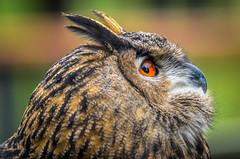Eye to the Sky - Eagle Owl (PhillymanPete) Tags: bird raptor portrait orange eye owl eagleowl nature palmyra newjersey unitedstates us