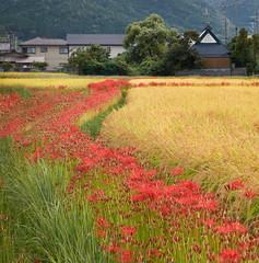 Amyrillis in the rice fields (Tim Ravenscroft) Tags: amyrillis rice field flowers kameoka kyoto japan