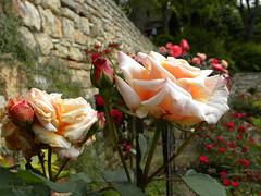 Roses in Balchik botanical garden, Bulgaria (cod_gabriel) Tags: bulgaria balchik balcic dobrogea dobruja dobrudja cadrilater botanicalgarden grădinăbotanică gradinabotanica rose roses trandafir trandafiri bokeh dof depthoffield shallowfocus shallowdof shallowdepthoffield desenfoque desenfocar