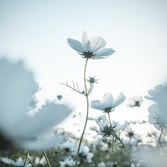 White Cosmos ( aikawake) Tags: cosmos white flowers nature naturelight beautiful bloom cute grace elegance politeness concinnity amenity backlight backlighting garden outdoor detail atmosphere dream quiet unique wonderful happiness      pencil
