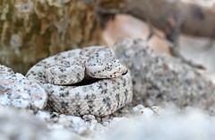 Speckled Rattlesnake (DevinBergquist) Tags: crotaluspyrrhus crotalus crotalusmitchellii speckledrattlesnake rattlesnake cascabel viboradecascabel snake herping fieldherping wildlife nature hiking az arizona