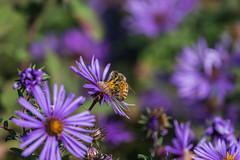 Honey Bee (Apis mellifera) (Charlie Lee.) Tags: washingtondc districtofcolumbia washington  dc    usa unitedstatesofamerica dc eastcoast northamerica canon 7dmarkii  urbanwildlife wildlife    bees bee insect honeybee  apismellifera